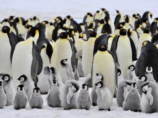 Penguin Emperor Pupus