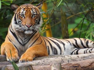 Harimau Malaya 1