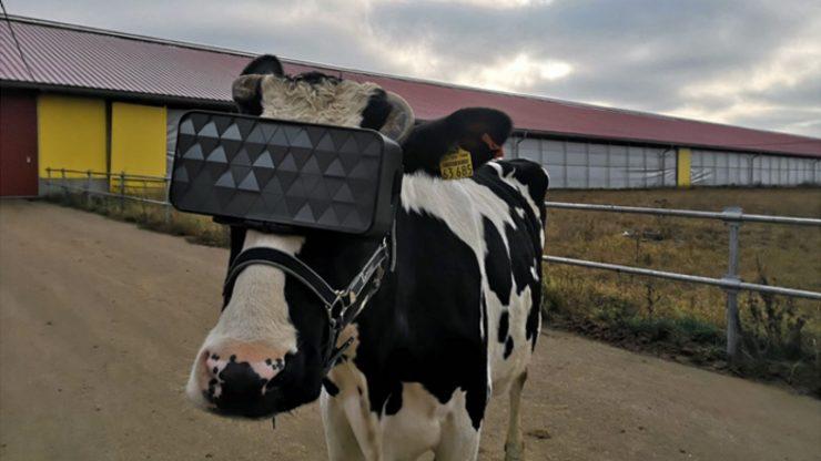 Lembu Dipasang Realiti Maya