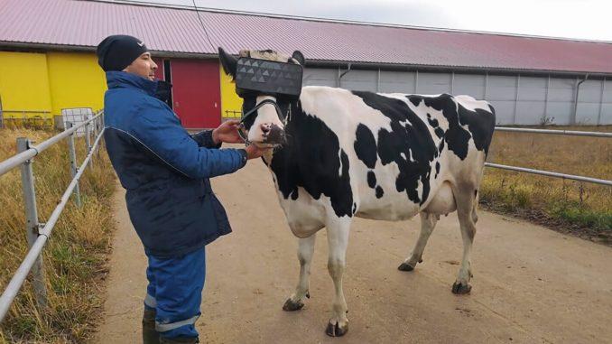 Lembu Dipasang Realiti Maya Hasilkan Banyak Susu