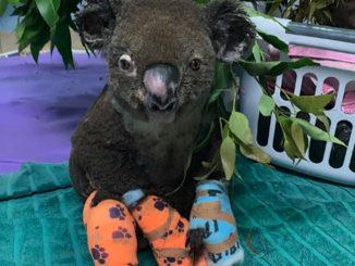 Koala Mati Dalam Kebakaran Hutan 1