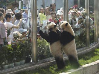 Pengunjung Hidu Najis Panda