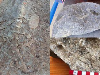Fosil Era Paleozoic Ditemui 3