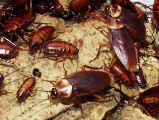 Lipas Kebal Racun Serangga