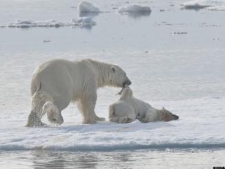 Beruang Kutub Makan Sesama Sendiri