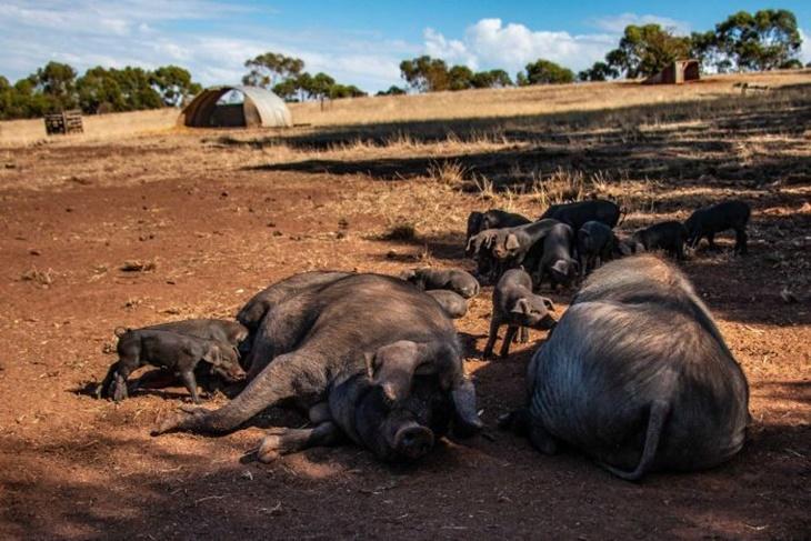 Selesema Babi Afrika