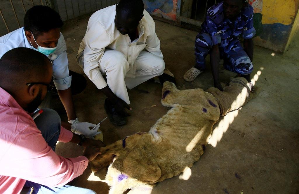 Tular Gambar Singa Kurus Kering Di Zoo Sudan 1