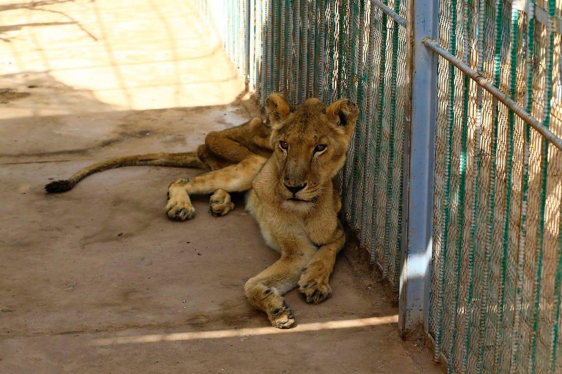 Singa Kurus Kering Di Zoo Sudan 2