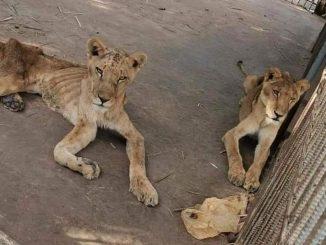 Tular Gambar Singa Kurus Kering Di Zoo Sudan 3