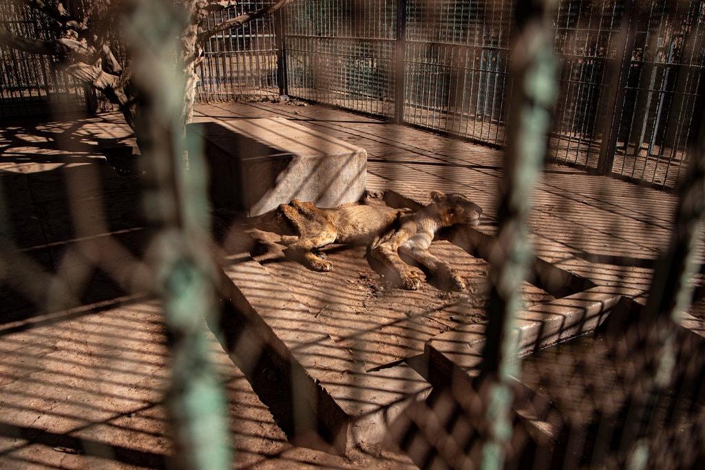 Tular Gambar Singa Kurus Kering Di Zoo Sudan