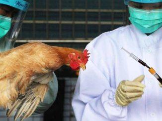 Wabak Selesema Burung China