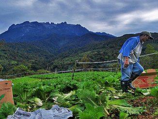 Tindakan Pengusaha Sayur Di Kelantan Buang 50 Tan Sayur Sehari Undang Kecaman