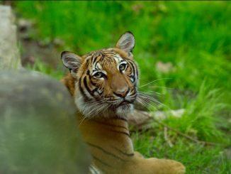 Harimau Malaya COVID-19
