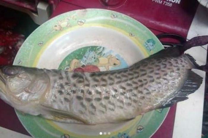 Bapa Ikan Kelisa Goreng
