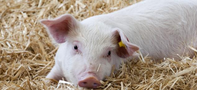 Wabak Selesema Babi Baharu Ditemui, Mampu Cetus Pandemik Baharu Dan Menjangkiti Manusia
