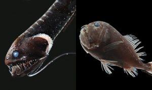 Pemangsa Daripada Kumpulan Ikan Ini Miliki 'Kuasa' Serap Cahaya 4