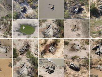 Ratusan Bangkai Gajah Ditemui Di Kawasan Botswana Sejak Mei Lalu 1