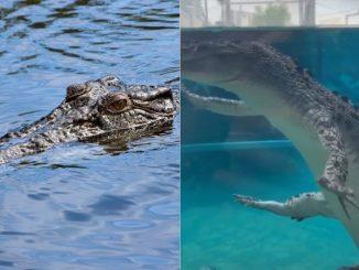 Gaya Berenang Buaya Ini Buat Orang Ramai Tak Jadi Untuk Panik 2