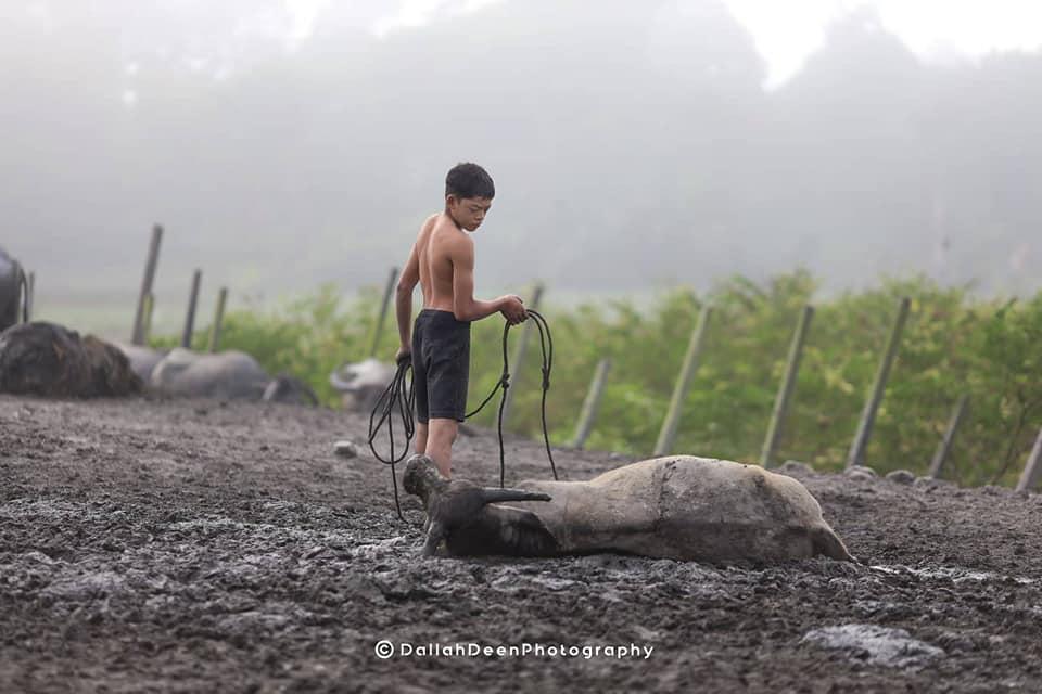 Kerbau Mowgli Malaysia Mati Mengejut