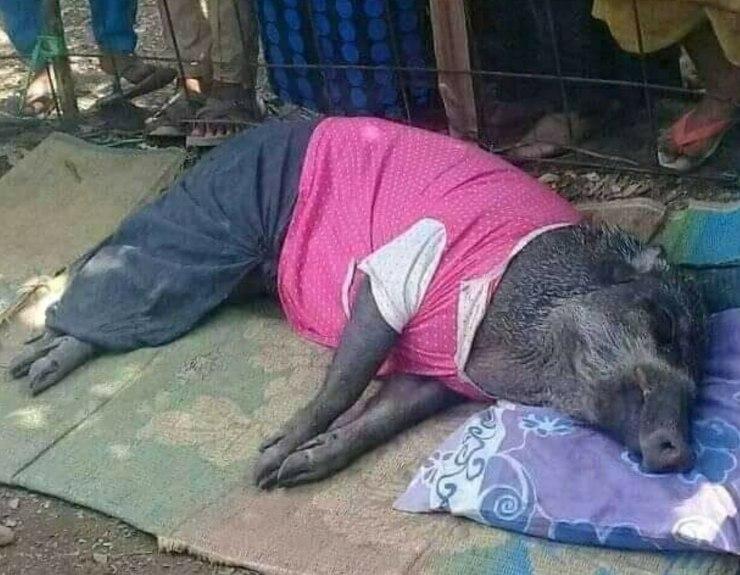 Babi Hutan Tidur Bantal Selimut