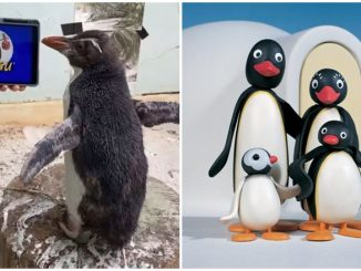 Peguin Tonton Pingu Ceria