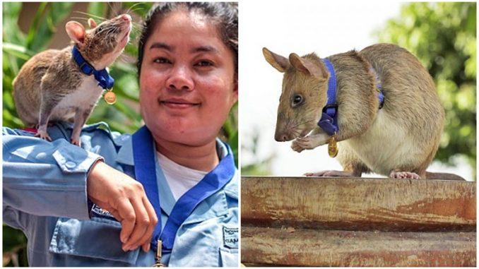 Tikus Anugerah Pingat Keberanian