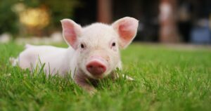 Cara Kenal Pasti Daging Babi