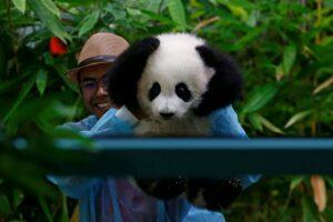 Alami Krisis Kewangan, Apa Nasib Panda Di Zoo Negara 2