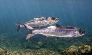 Cuaca Panas Ikan Direbus Hidup-Hidup