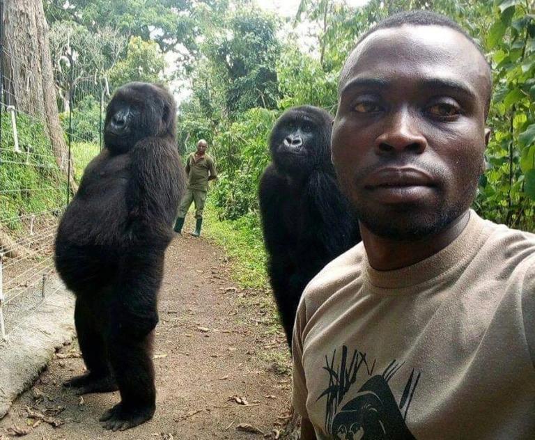Foto Gorila Mati Dalam Pelukan Penjaga Sentuh Hati Netizen 1