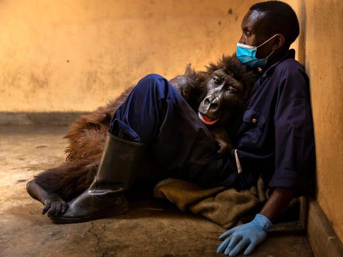 Foto Gorila Mati Dalam Pelukan Penjaga Sentuh Hati Netizen 2