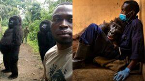 Foto Gorila Mati Dalam Pelukan Penjaga Sentuh Hati Netizen 3